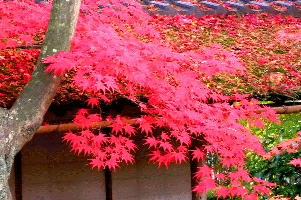 kyoto-autumn-leaves2